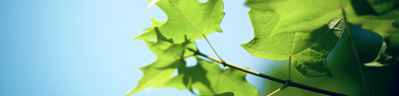 Closeup of leaves against a blue sky.